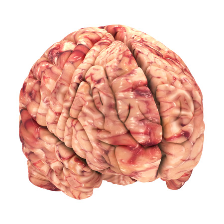 Anatomy Brain - Iso View Isolated on White Stock Photo - 22971487