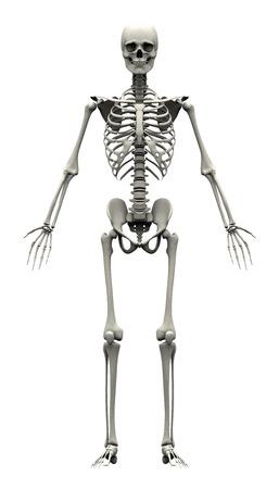 skelett mensch: M�nnlich Menschliches Skelett - Vorderansicht