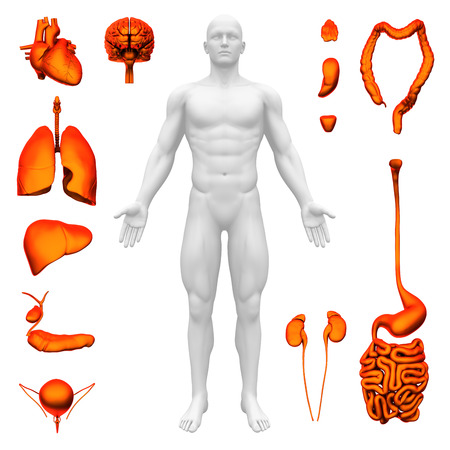 organi interni: Gli organi interni - Anatomia Umana Archivio Fotografico