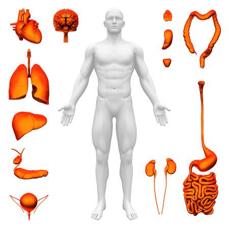 organos internos: Los órganos internos - Anatomía humana