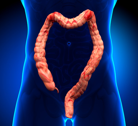 rectum: Colon Anatomy - real view Stock Photo