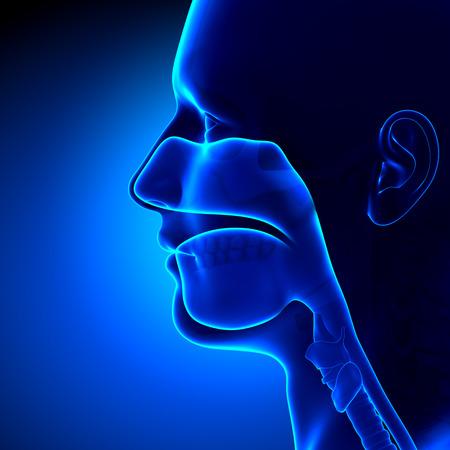 副鼻腔 - クリア - 頭の解剖学 写真素材