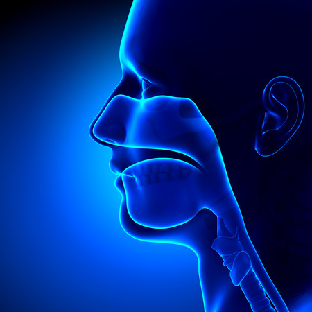 throat: Sinuses - Clear - Head Anatomy Stock Photo