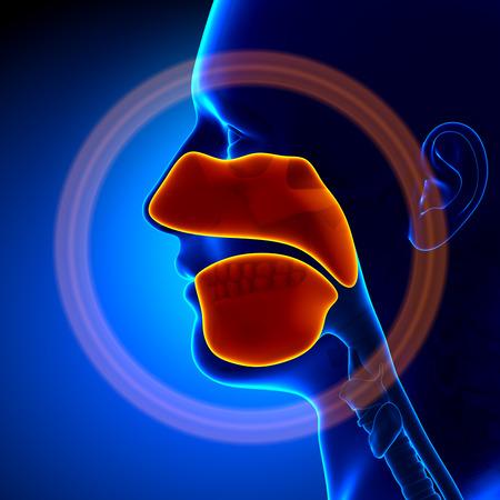 persona respirando: Los senos paranasales - Anatomía Humana Foto de archivo