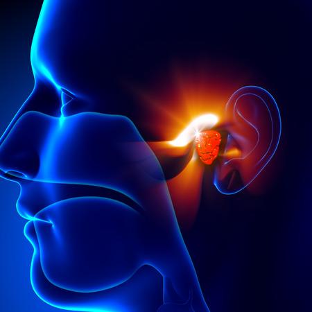 aparato respiratorio: Las adenoides - Oído