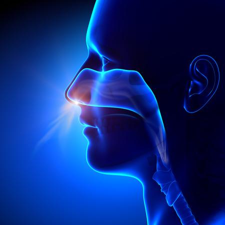 副鼻腔の呼吸による人体解剖学 写真素材