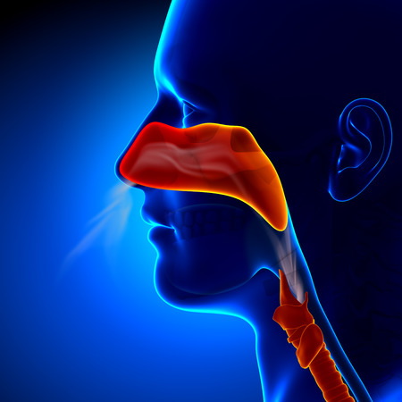 throat: Flu - Full Nose - Human Sinuses Anatomy Stock Photo
