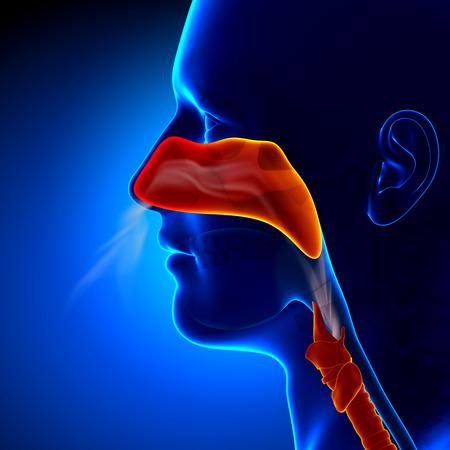 aparato respiratorio: Gripe - Nariz completa - Senos Humanos Anatom�a Foto de archivo