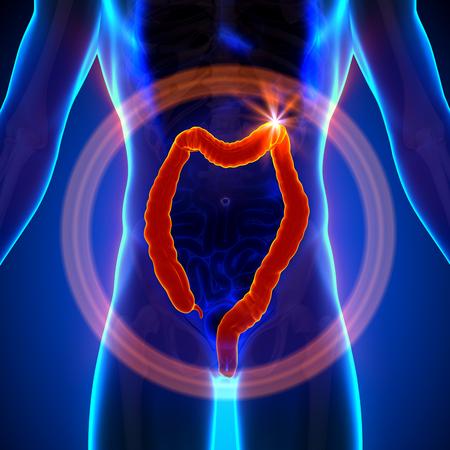 male large intestine: Colon   Large Instestine - Male anatomy of human organs - x-ray view