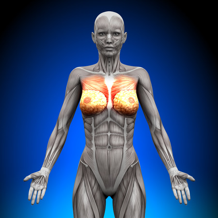 Breasts - Female Anatomy Muscles
