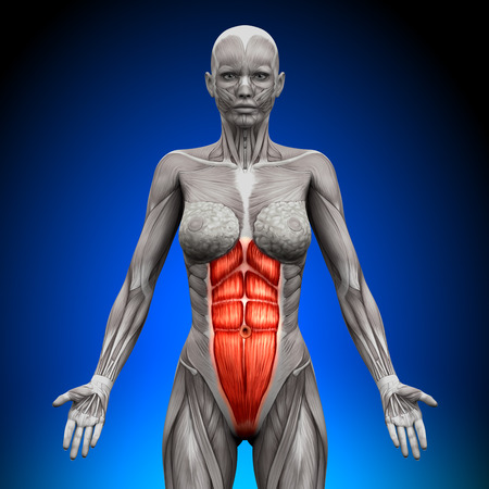 Abs - Female Anatomy Muscles photo