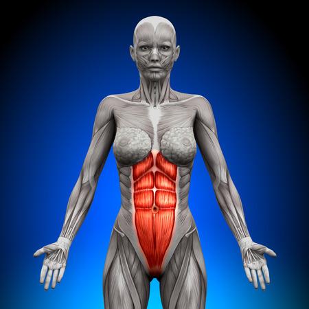 cuerpo femenino: M�sculos Anatom�a Femenina - Abs Foto de archivo