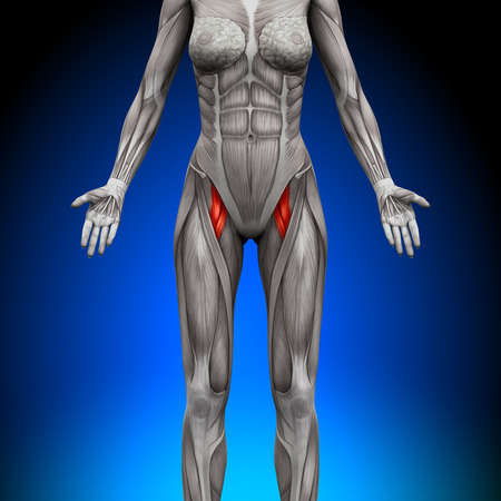 forearm: Abs - Female Anatomy Muscles