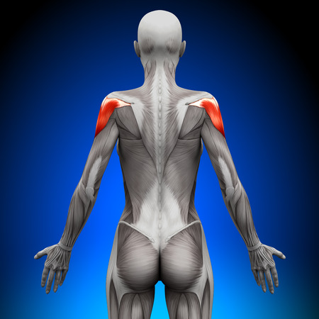Shoulders - Female Anatomy Muscles Stock Photo