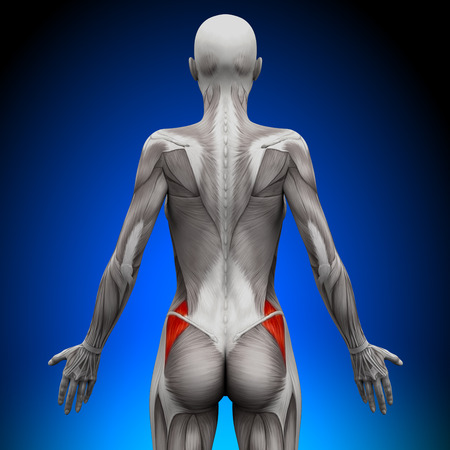 woman standing back: Glutes Medius - Female Anatomy Muscles