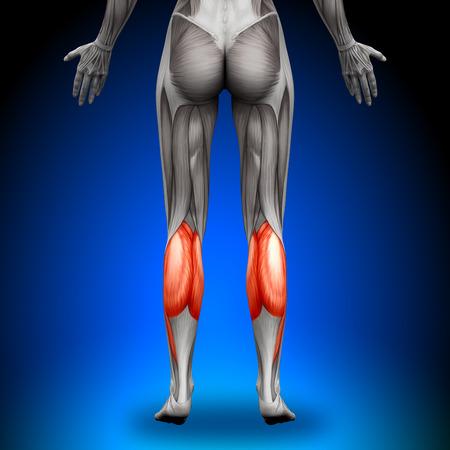 gastrocnemius: Calves - Female Anatomy Muscles
