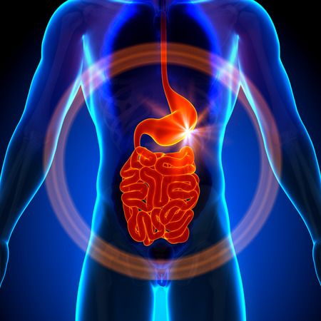 인간의 장기의 남성 해부학 - - 배짱 소장 배 엑스레이보기