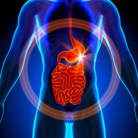 sistema digestivo: Estómago Guts Intestino Delgado - Anatomía masculina de órganos humanos - vista de rayos x Foto de archivo