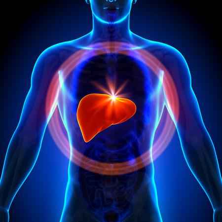 higado humano: Hígado - Anatomía masculina de órganos humanos - vista de rayos x Foto de archivo