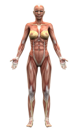 naked female body: Female Anatomy Muscles - Anterior view