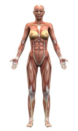 corps femme nue: Femme Muscles Anatomie - Vue antérieure Banque d'images