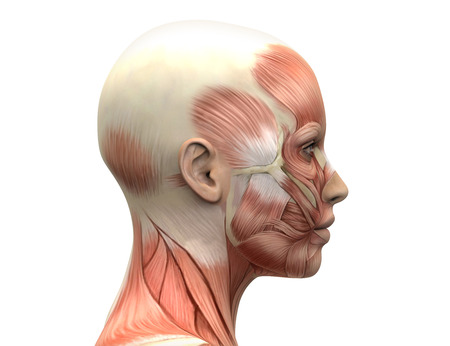 muscular anatomy: Female Head Muscles Anatomy - Side view Stock Photo