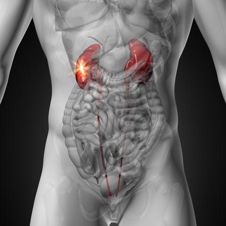 Kidneys - Male anatomy of human organs - x-ray view photo