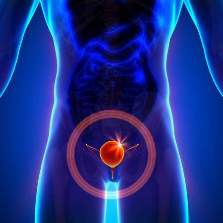 urinary: Bladder - Male anatomy of human organs - x-ray view