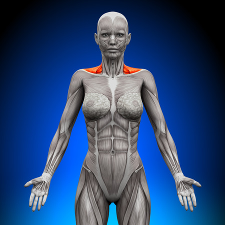 woman back view: Trapezius Front   Neck Muscles - Female Anatomy
