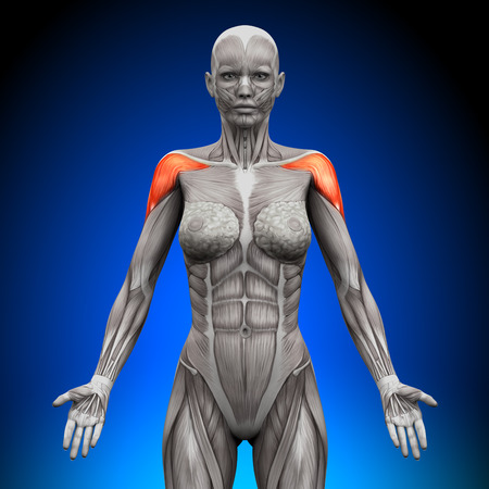deltoid: Shoulders   Deltoid - Female Anatomy