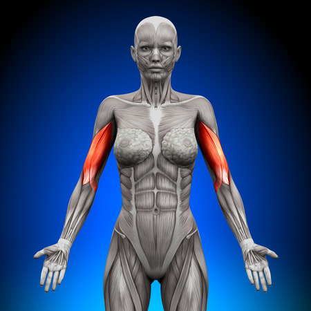 bicep: Biceps - Female Anatomy Muscles Stock Photo
