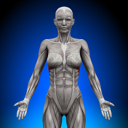 anterior: Serratus Anterior - Female Anatomy Muscles Stock Photo