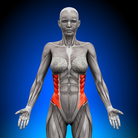 pectoral: External Oblique - Female Anatomy Muscles Stock Photo
