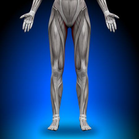 deltoid: Gracilis - Female Anatomy Muscles Stock Photo
