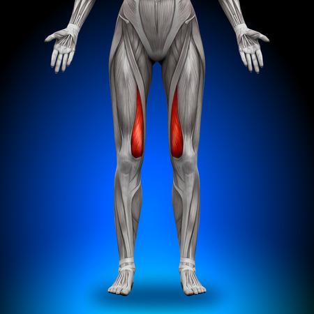 Vastus medialis - Vrouwelijke Anatomie Spieren Stockfoto