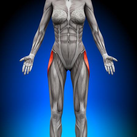 Tensor Fasciae Latea - 여성 해부학 근육 스톡 콘텐츠