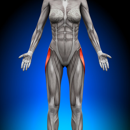 tensor: Tensor Fasciae Latea - Female Anatomy Muscles