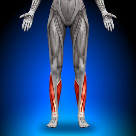 hamstrings: Calves - Female Anatomy Muscles
