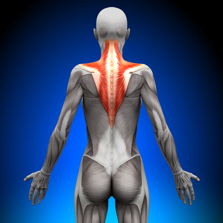 trapezius: Trapezius - Female Anatomy Muscles Stock Photo