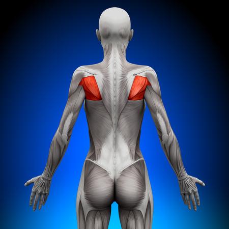 infraspinatus: Teres - Female Anatomy Muscles