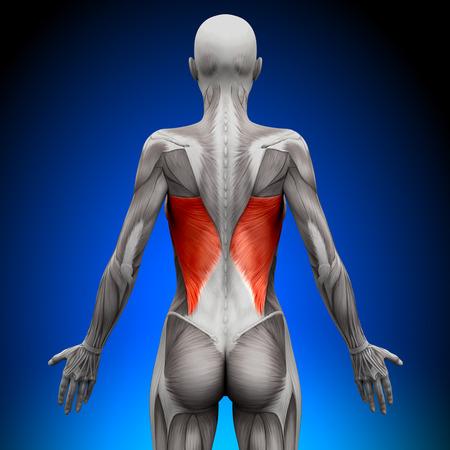 latissimus: Muscoli Female Anatomy - Dorsali
