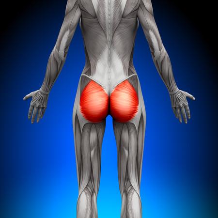 尻の筋肉大殿 - 女性の解剖学の筋肉 写真素材