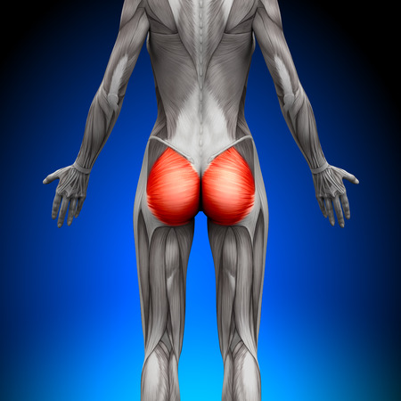 Glutes Großer Gesäßmuskel - Weibliche Anatomie Muscles Standard-Bild - 28998186