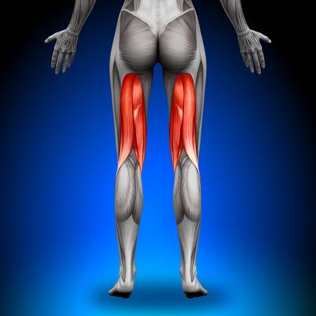 calas blancas: Músculos Anatomía Femenina - Isquiotibiales