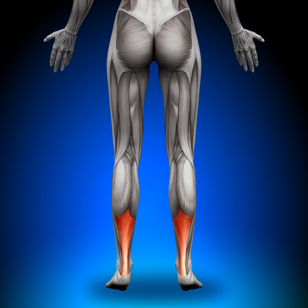 achilles tendon: Calves Achilles tendon - Female Anatomy Muscles Stock Photo