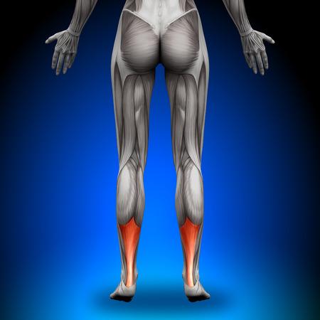Cielęta ścięgna Achillesa - Kobieta Mięśnie Anatomia