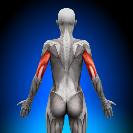triceps: Triceps - Female Anatomy Muscles