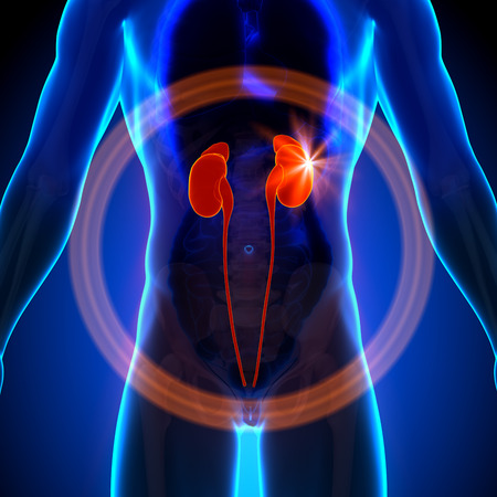 Kidneys - Male anatomy of human organs - x-ray view