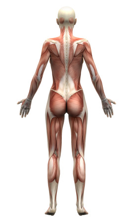 naked female: Female Anatomy Muscles - Posterior view Stock Photo