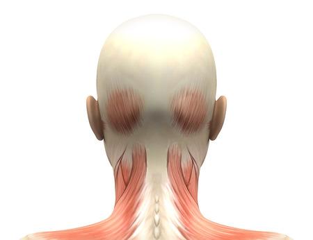 Músculos femeninas Cabeza anatomía - Volver la vista Foto de archivo - 28998217